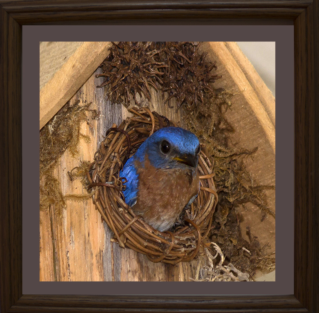 Bluebird in Nest  #8030